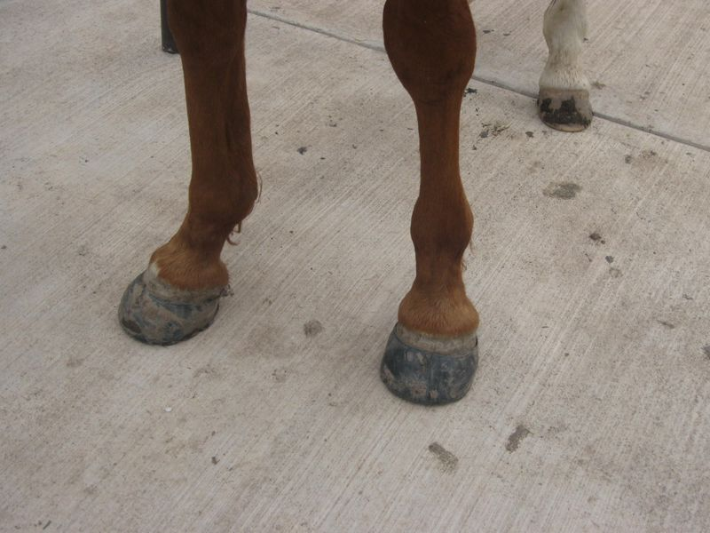 Hoof Condition after Easyboot Glue-On Removal 002