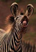 Zebra_Mouth
