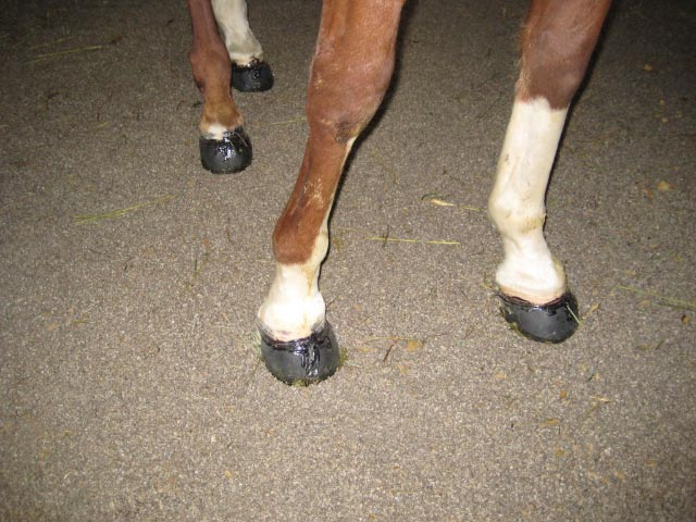 Easyboots in place before the mud