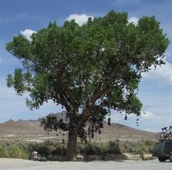 Shoe_tree_medium