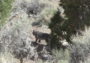 Bobcat_cropped