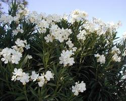 Oleander07