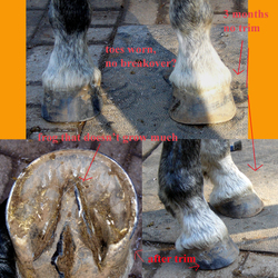 Front_hooves_trim